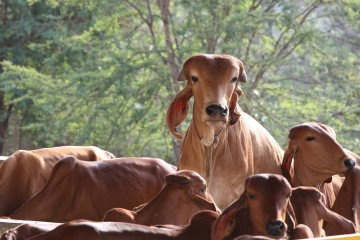 Heilige Kühe auf dem Farmgelände des ARt of Living Ashrams in Bangalore