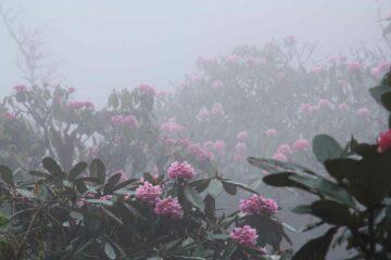 Bhutans Rhododendren