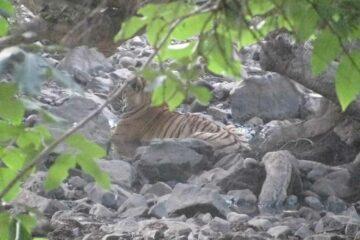 Tiger in Rhantambore