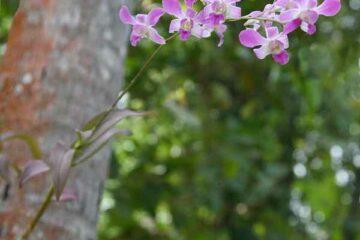 Orchideen im Marari Beach