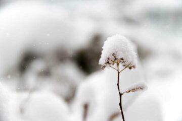 Blume im Schnee