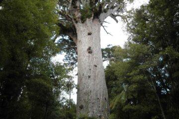 2000 Jahre alter Tane Mahuta - der Gott des Waldes