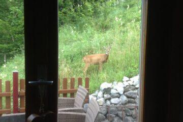 Reh vor dem Fenster der Unterkunft