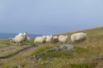 Blick auf Schafe