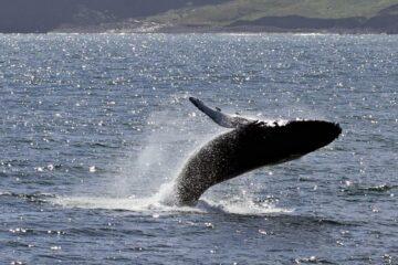 Wale im Fjord