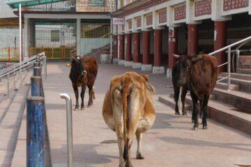 Drei Kühe laufen am Kai des Ganges entlang