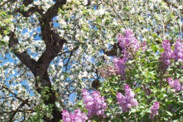 Weiße Baumblüten und lila Flieder