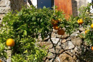 Zitronen- und Orangenbaum vor Fenster