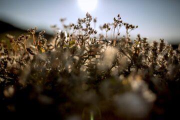 Kräuterblumen vor dem einfallenden Sonnenlicht