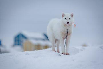 weißer Schlittenhund schaut in Kamera