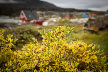Gelber Strauch vor bunten Holzhäusern