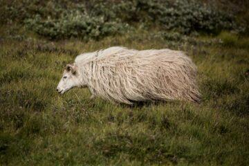 Schaf von der Seite rennt auf der Weide