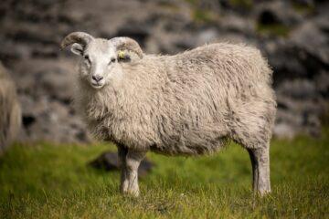 weißes Schaf blickt direkt in die Kamera