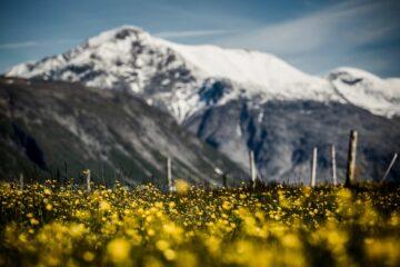 weißes Blumenfeld vor schneebedecktem Gipfel