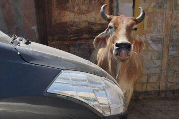 Kuh steht neben Auto