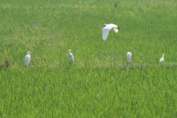 Reisfeld mit zwei Bauern