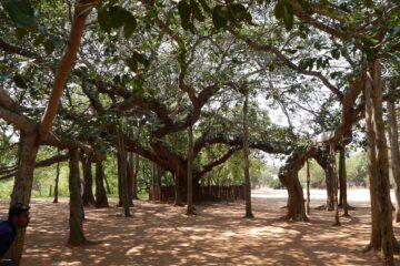 Bäume mit kurvigen Stämmen im Kreis