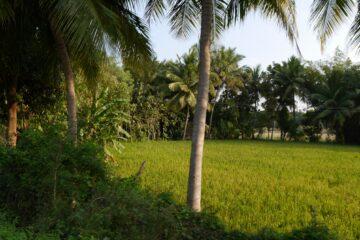 Reisfeld mit Palmenbestand im Hintergrund