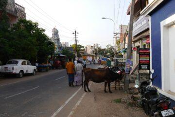 Angebundene Kuh auf belebter Straße