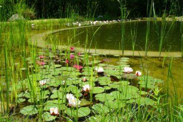 Rosa und rote Seerosen auf Wasser