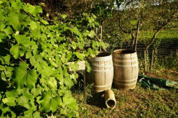 Weinfässer auf Erde an grüner Hecke