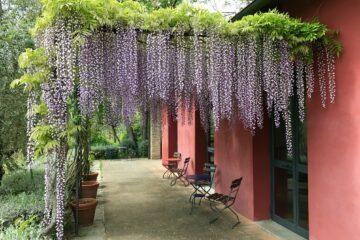 Terrasse mit Pergola und lila Blumen die nach unten ranken
