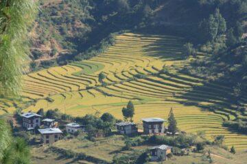 Grünes Reisfeld und Häuser