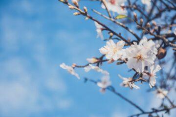 Mandelblüten an der Algarve