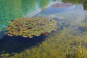 Teich mit Seerosenblättern