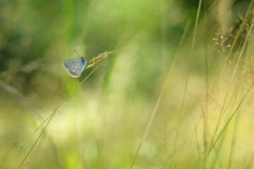 Schmetterling an Heuhalm