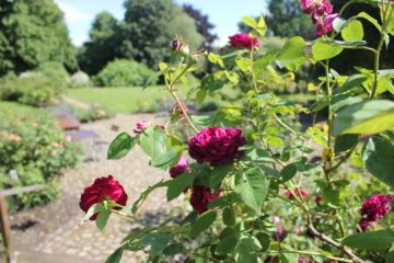 Rosenstrauch mit pinken Blüten