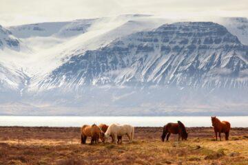 Islandpferde vor verschneitem Berg